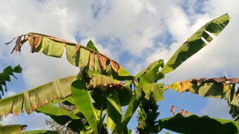 Das Bild zeigt eine vom Bananenerreger befallende Staude