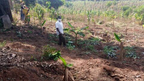 Pfarrer Vincent Nakaana in der neu angelegten Bananenplantage